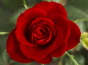 Good Morning Love Wallpaper_Red Rose