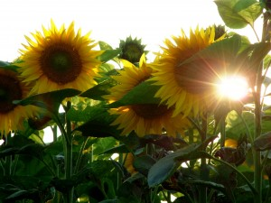 Good Morning Wallpapers free download_Sun and Sunflowers