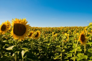 Wallpaper good morning_Field of Sunflowers
